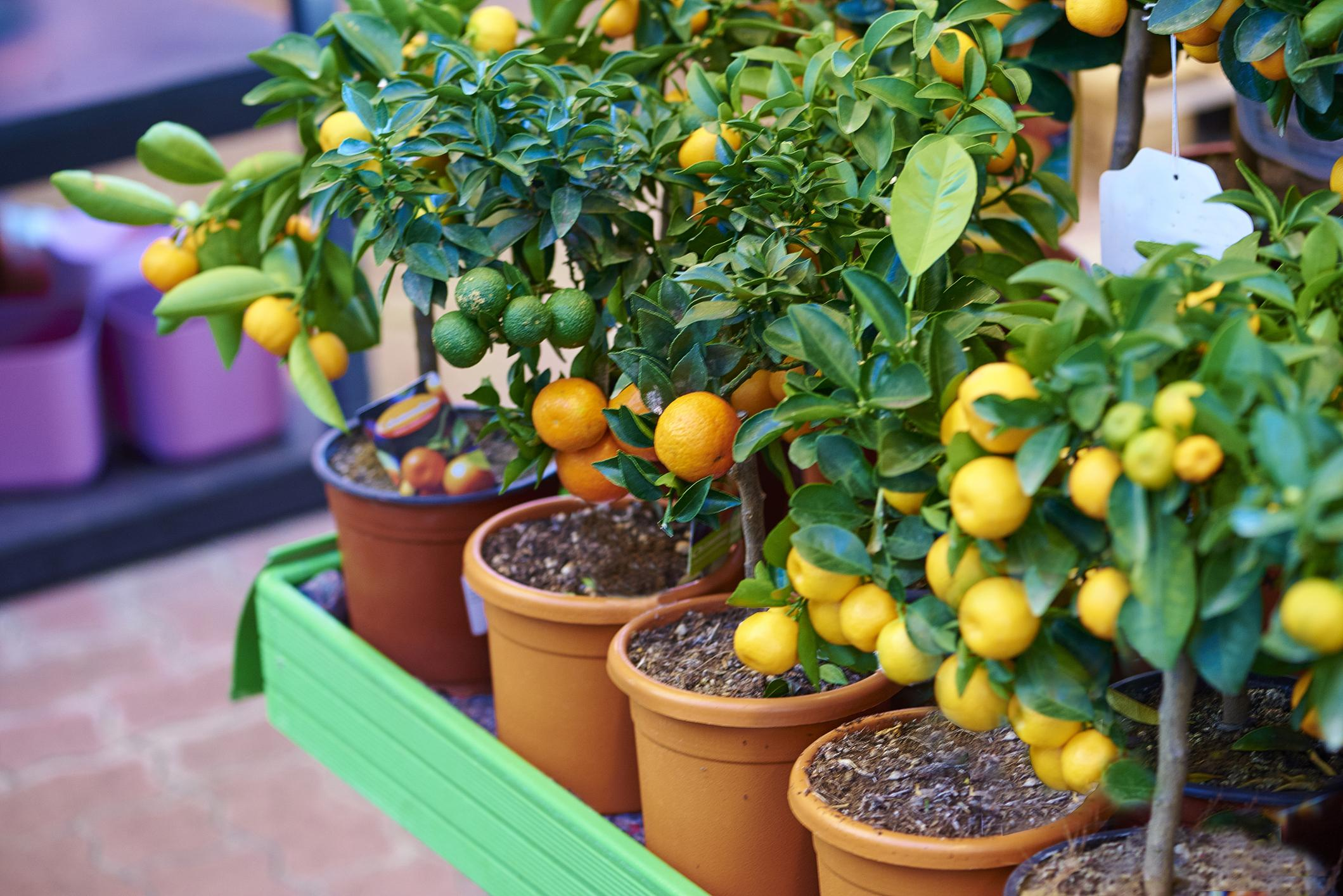עצי פרי באדנית גינה במרפסת עשו זאת בעצמכם